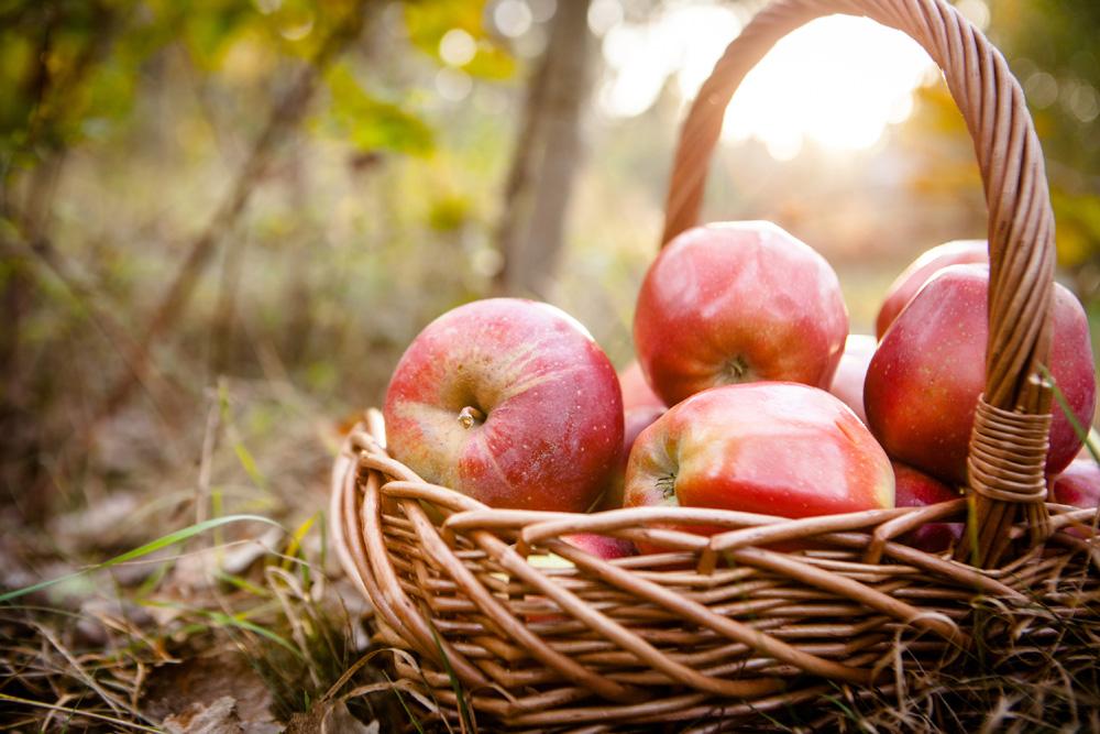 Basket of apples in a garden
